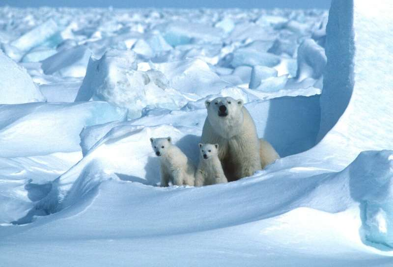 On current trends, polar bears in 18 of 19 subpopulations will have been overtaken within 80 years by the galloping pace of chan