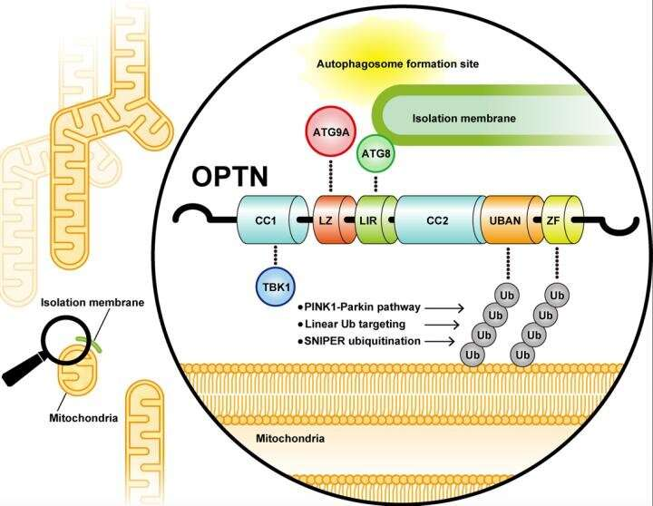 OPTN-ATG9 interaction accelerates autophagic degradation of ubiquitin-labeled mitochondria
