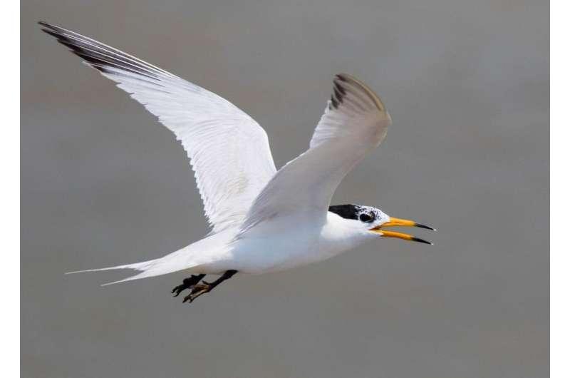 OSU researchers part of international effort to save critically endangered seabird