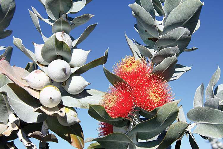 Over 100 eucalypt tree species newly recommended for threatened listing