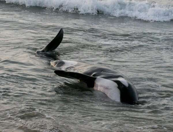 Pacific killer whales are dying — new research shows why