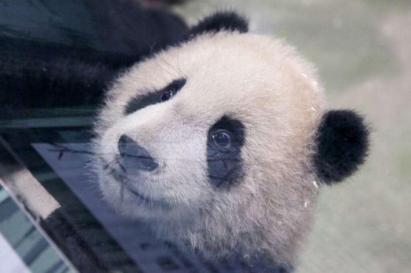 Panda cub Yuan Bao during a media preview at Taipei Zoo