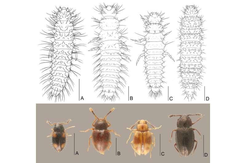 Peculiar behavior of the beetle Toramus larvae, carrying their exuviae