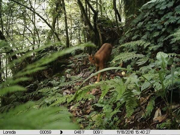 Phylogenetic analysis confirms existence of five goral species