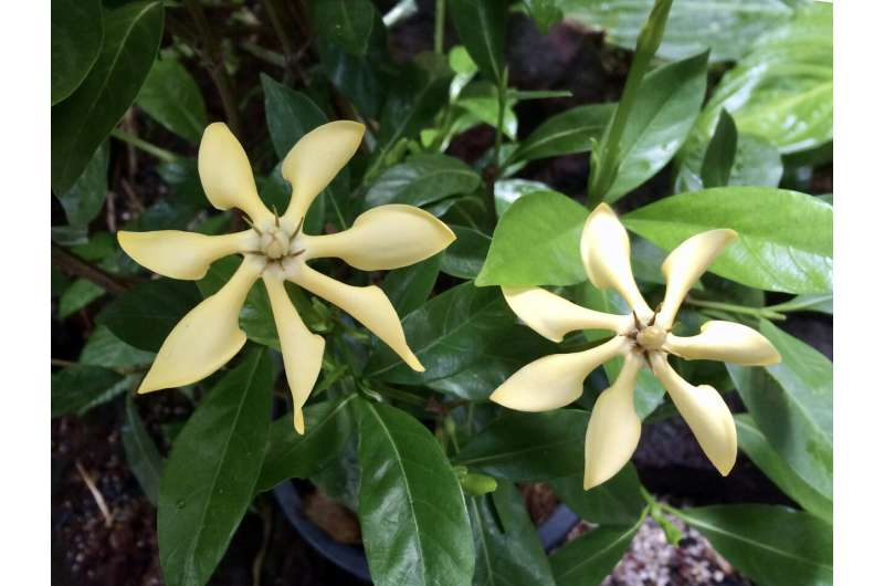 Plants are marvelous chemists, as the gardenia's DNA shows