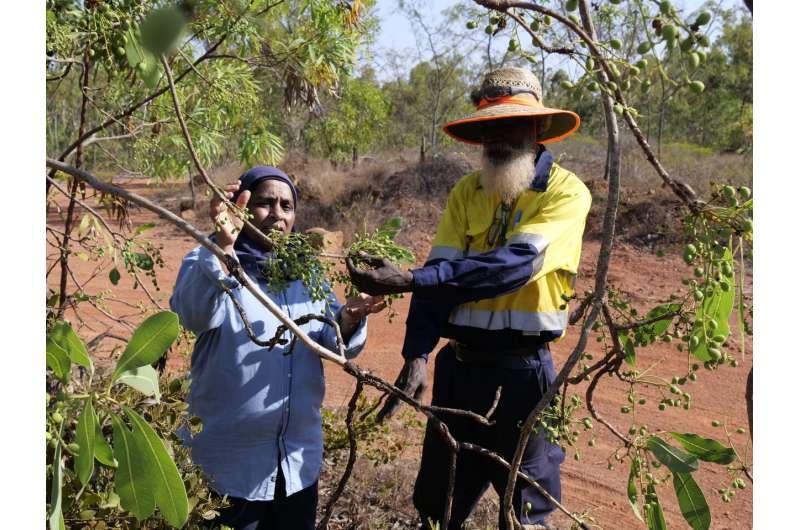 Plum pickings: ancient fruit ripe for modern plates
