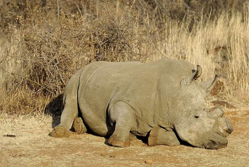 Poachers are hunting rhinos in Botswana and South Africa for their horns which are wrongly believed to have medical value