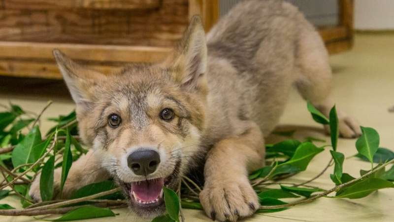 Positive YouTube videos of wolves linked to greater tolerance