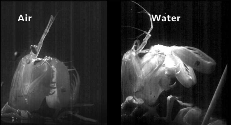 Powerful mantis shrimp pull punches in air for self-preservation