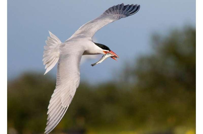 Predation by Caspian terns on young steelhead means fewer return as adults