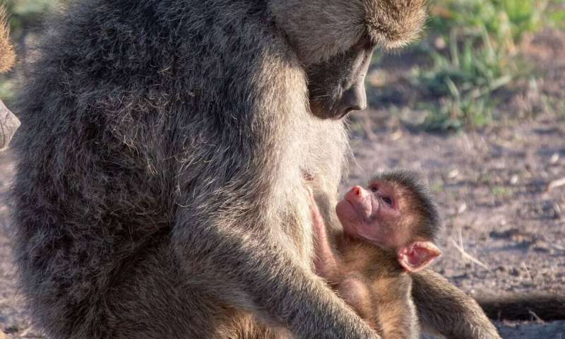 Primate orphans have it tough even before mother dies