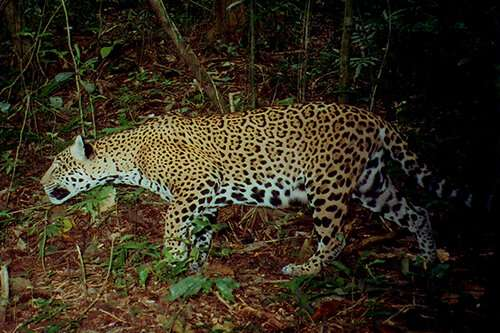 Protecting two key regions in Belize could save threatened jaguar, say scientists