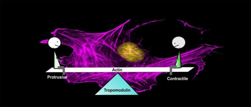 Protein function maintains the balance between the protrusive and contractile cell machineries