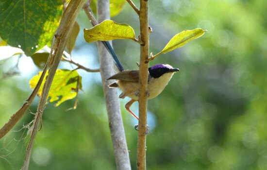 Purple crowned fairy wren holds the key to immune function