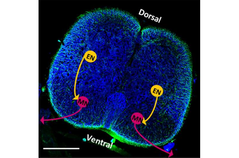 Rat spinal cords control neural function in biobots