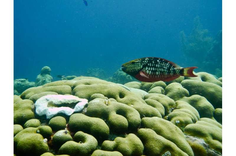 Recovery of an endangered Caribbean coral from parrotfish predation