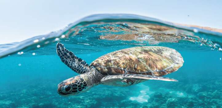 Red Sea turtle hatchlings are feeling the heat
