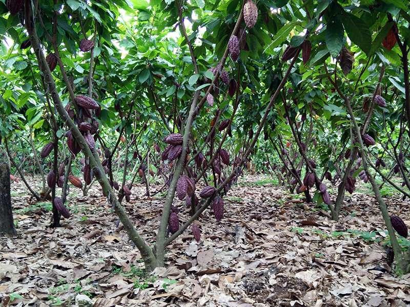 Reducing cadmium levels in cacao