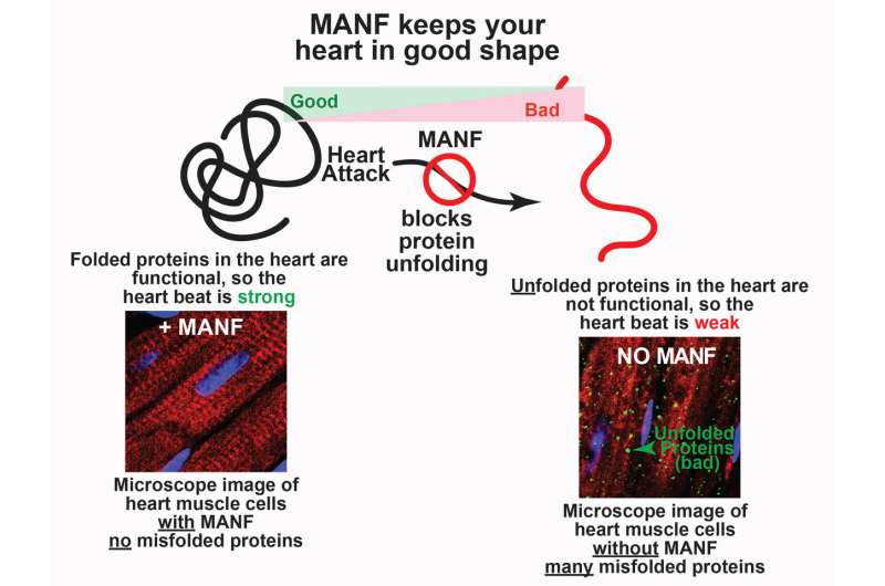 Reducing the damage of a heart attack