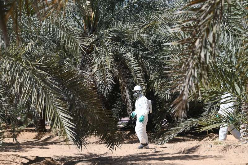 Red weevils, which can kill infested palms, cause millions of dollars in damages annually