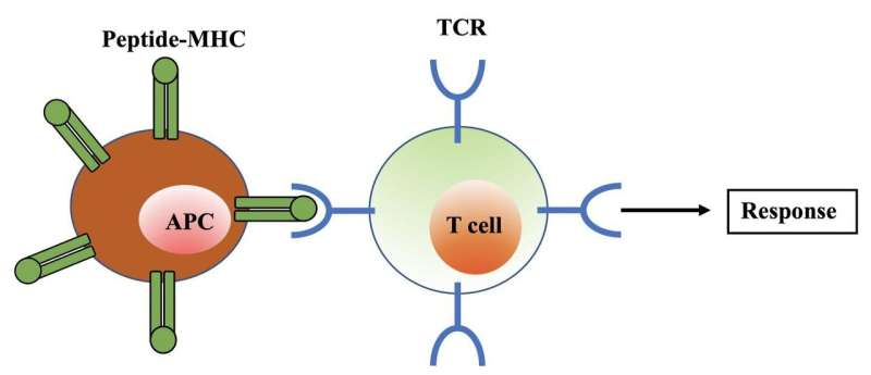 'Relaxed' T cells critical to immune response