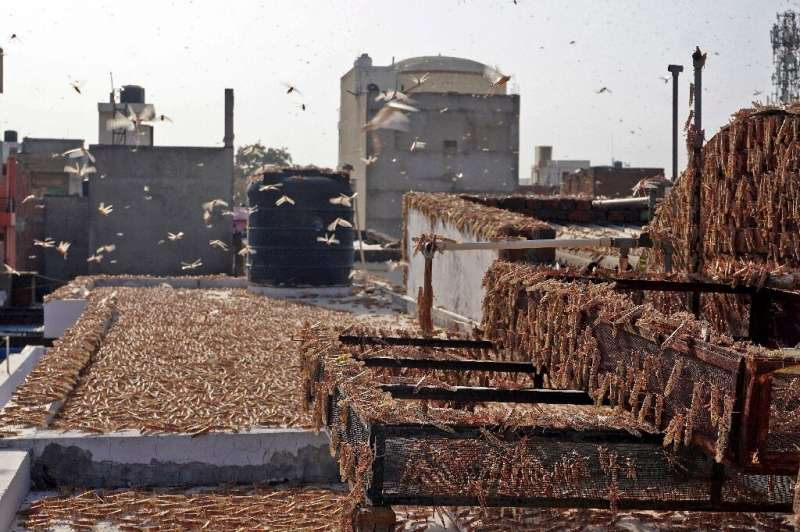 Residential areas in the state capital Jaipur were overwhelmed by locusts
