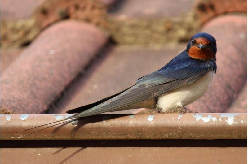 Resident parasites influence appearance, evolution of barn swallows