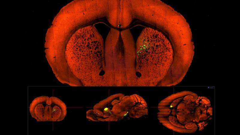Reward and punishment take similar paths in the mouse brain