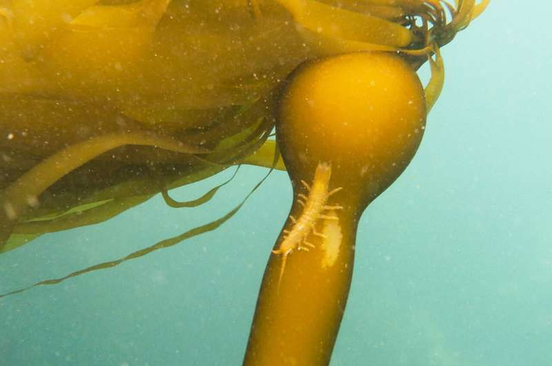 Satellite data boosts understanding of climate change's effects on kelp