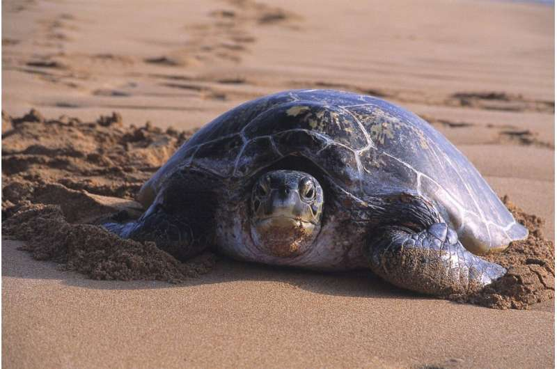 Satellite tracking finds turtle foraging areas in Australia's north-west