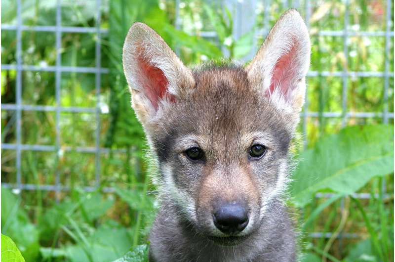 Scientists unexpectedly witness wolf puppies play fetch