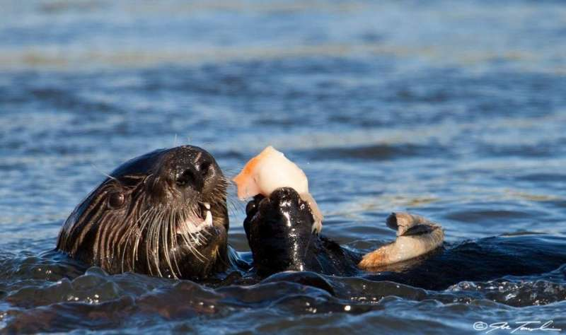 Sea otters, opossums and the surprising ways pathogens move from land to sea