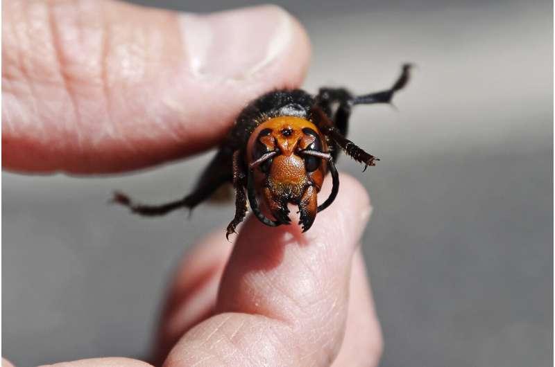 Search underway for murder hornets nest in Washington state