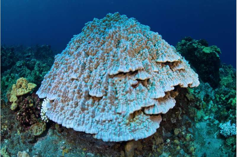 Sea surface temperature has a big impact on coral outplant survival