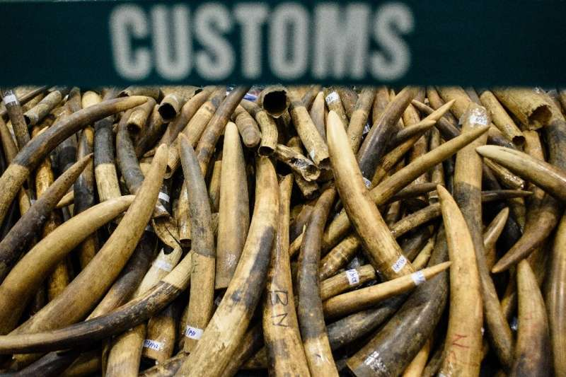 Seized elephant ivory tusks in Hong Kong
