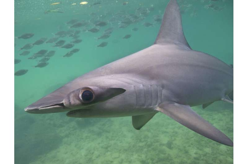 Shark may avoid cold blood by holding its breath on deep dives