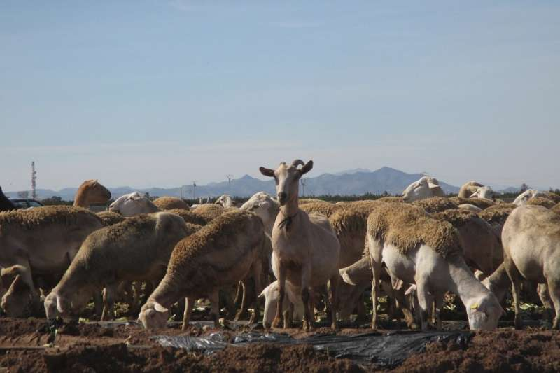 Sheep show the contamination by microplastics in the agricultural soils of Murcia