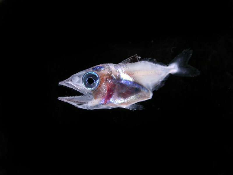 Shifts in water temperatures affect eating habits of larval tuna at critical life stage