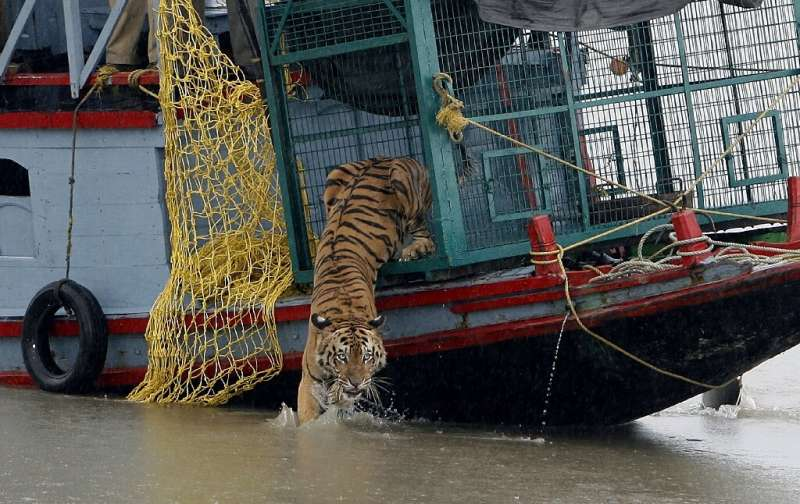 Sightings of Royal Bengal tigers in the Sundarbans mangrove forest in eastern India have jumped as a coronavirus lockdown keeps