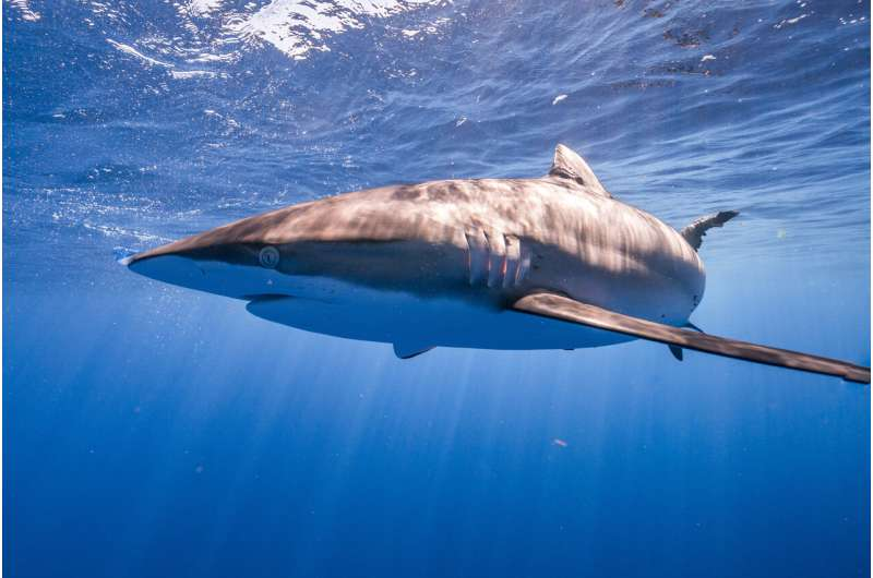 Silky sharks find hope in Atlantic, remain targets in Indo-Pacific