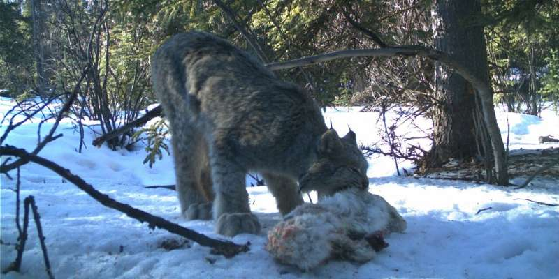 Snowshoe hare carcasses feed more than usual predator suspects, study shows