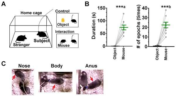 'Social cells' related to social behavior identified in the brain