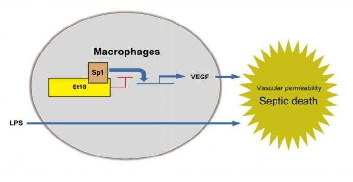 St18 is a negative regulator of VEGF