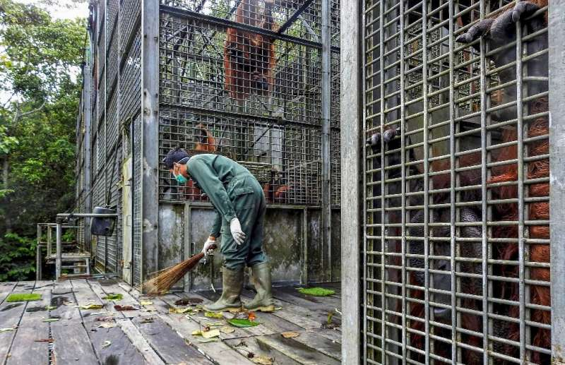 Staff at the Borneo Orangutan Survival Foundation have stepped up their efforts to prevent infection among the apes