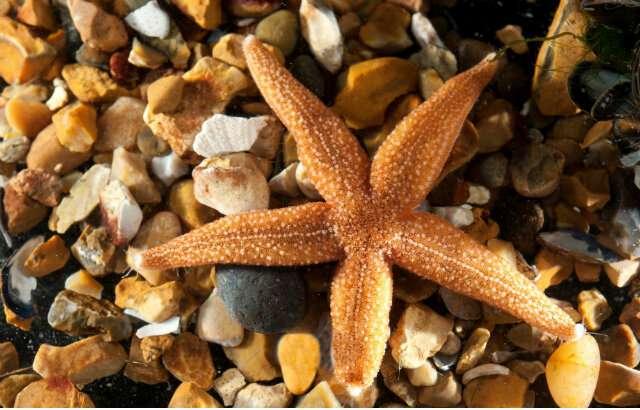 Starfish provide missing link in evolution of key brain messenger molecules
