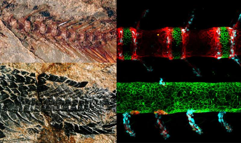 Study bolsters confidence that fish can provide useful models of human spine biology, disorders