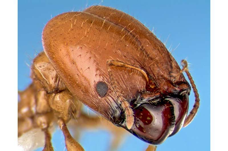 Study of giant ant heads using simple models may aid bio-inspired designs