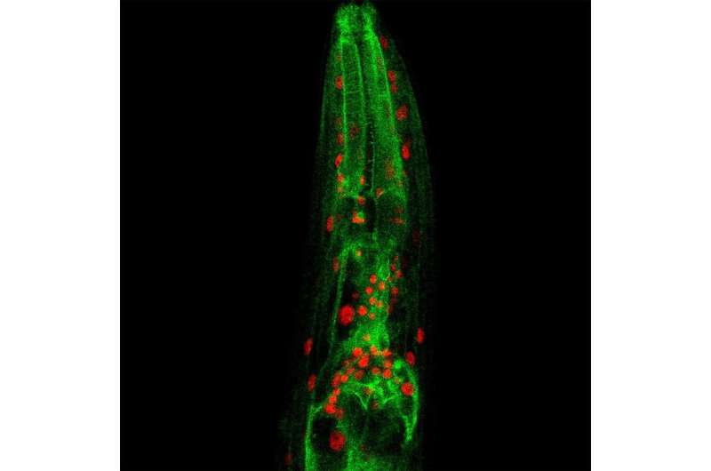 Subcellular chatter regulates longevity