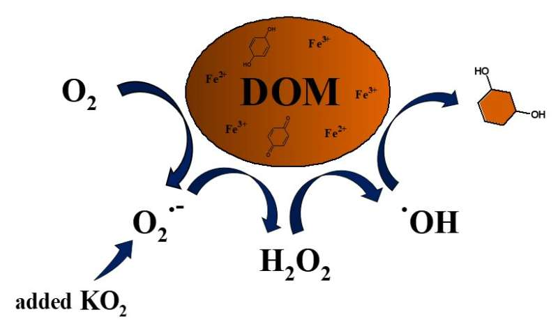 Superoxide produces hydroxyl radicals that break down dissolved organic matter in water