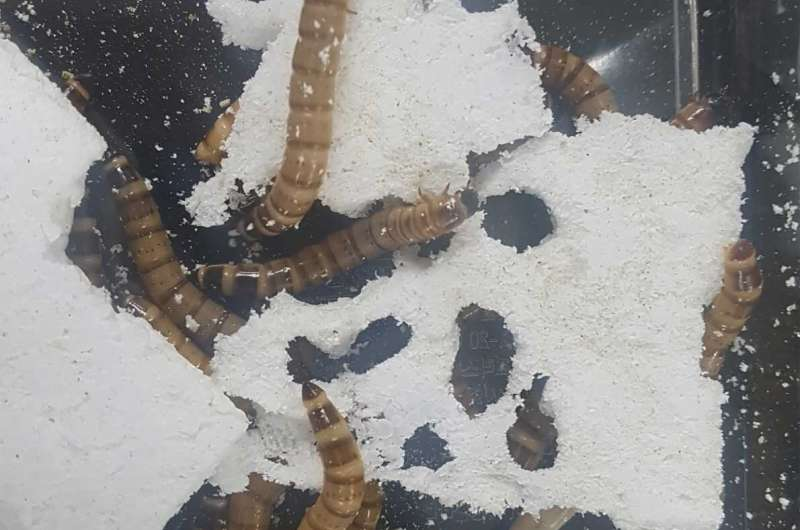 Superworms digest plastic, with help from their bacterial sidekicks
